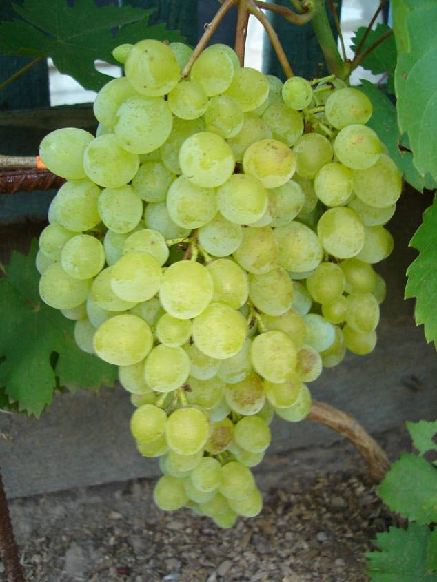 Виноград находка: что нужно знать о нем, описание сорта, отзывы