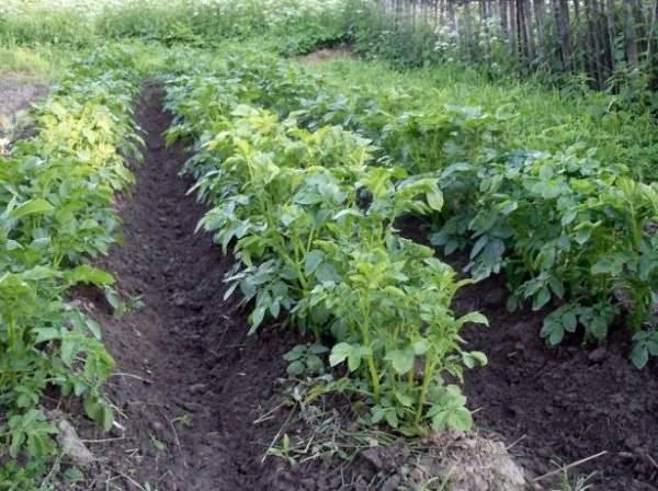 Посадка картофеля по голландской технологии – повышаем урожай + видео
