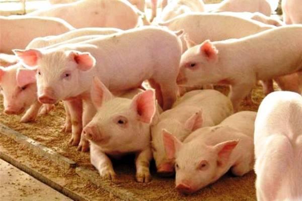 Крупная белая порода свиней: характеристика