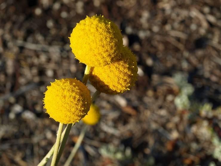 Цветы краспедия: фото, выращивание сухоцвета из семян, как посадить на рассаду шаровидную краспедию
