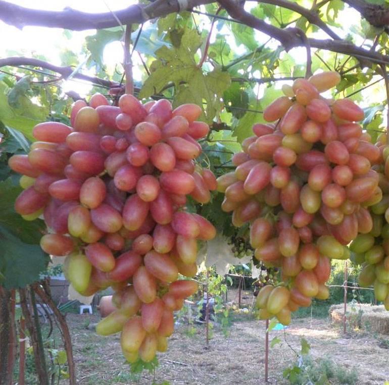 Виноград сорта виктор: описание, особенности выращивания, достоинства и недостатки