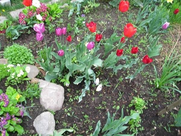 Не цветет тюльпан: причины и способы предотвращения этой ситуации