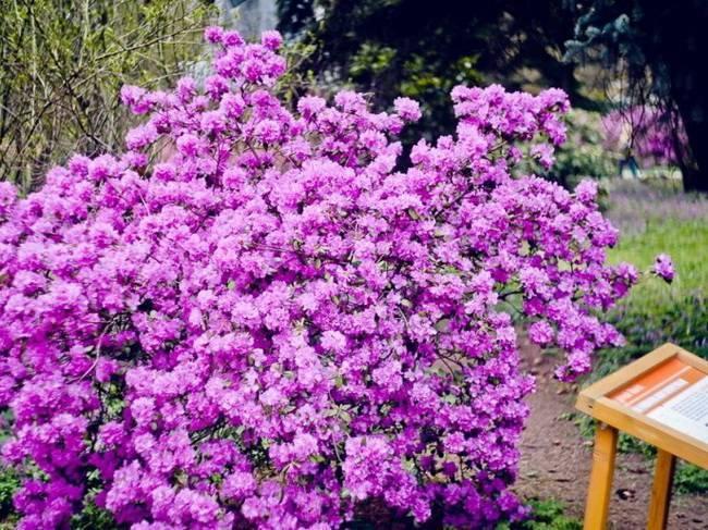 Рододендрон, или розовое дерево. уход, посадка, размножение, укрытие. фото — ботаничка.ru