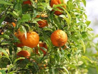 Померанец, апельсин дикий - свойства, противопоказания, препараты с померанцем.