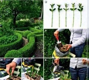 Боярышник: (35 фото): выращивание из семян и размножение - посадка и уход, как вырастить и посадить, как размножить черенками и вырастить из косточки в домашних условиях, саженцы растения