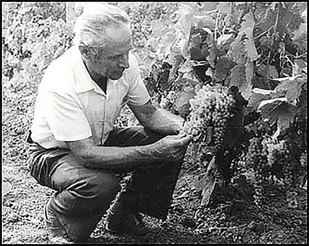 Описание сорта винограда ливадийский черный: фото и отзывы | vinograd-loza