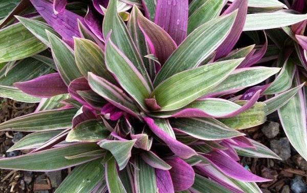 Рео - виды цветка, особенности ухода во время цветения и распространенные болезни