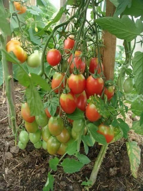 Томат рома: характеристика и описание сорта, урожайность с фото