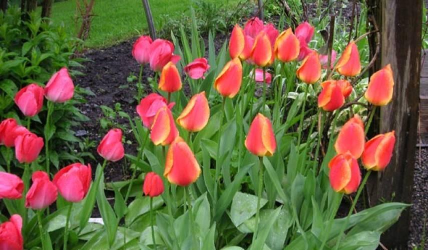 Не цветет тюльпан — причины и способы предотвращения этой ситуации