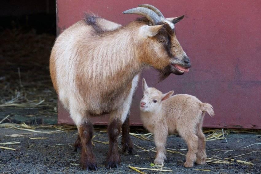 Удивительные карликовые козы из камеруна