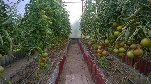 Описание сорта томата гравитет, особенности выращивания и ухода – дачные дела