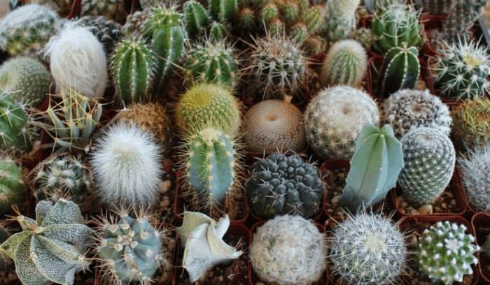 Растение опунция и виды кактуса: фото и названия, выращивание и уход в домашних условиях