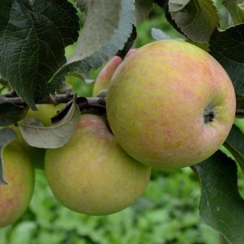 Яблоня мартовское: описание сорта, фото, отзывы — selok.info