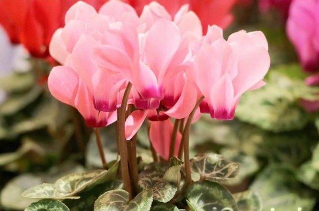 Цикламен из семян (21 фото): пошаговое выращивание в домашних условиях. как выглядят семена цикламена и как их правильно сажать?