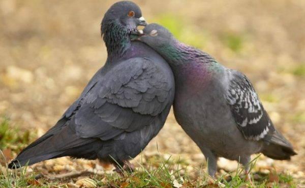 Как отличить голубя от голубки внешне: научные и народные способы