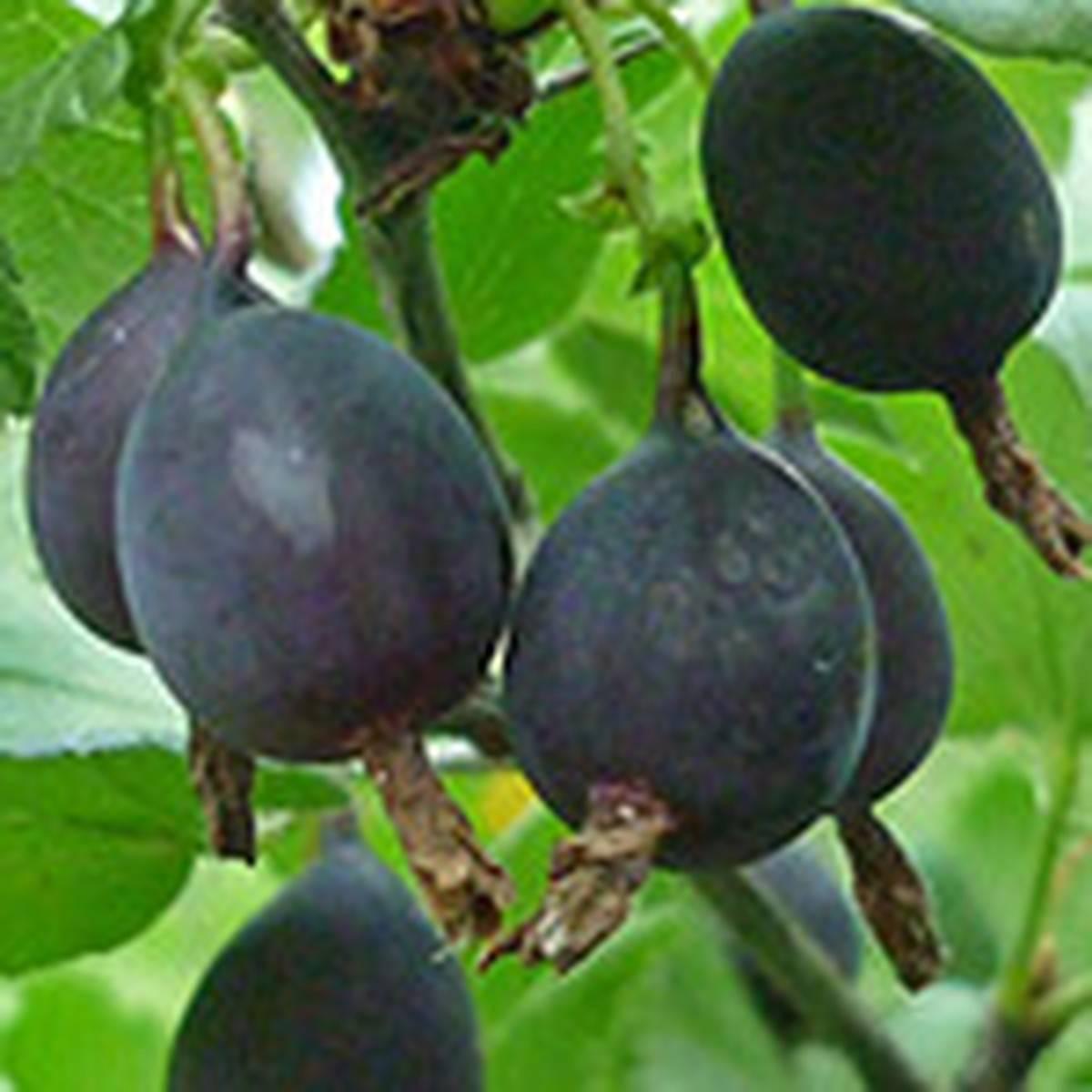 Описание сорта крыжовника чёрный негус: особенности высаживания и выращивания