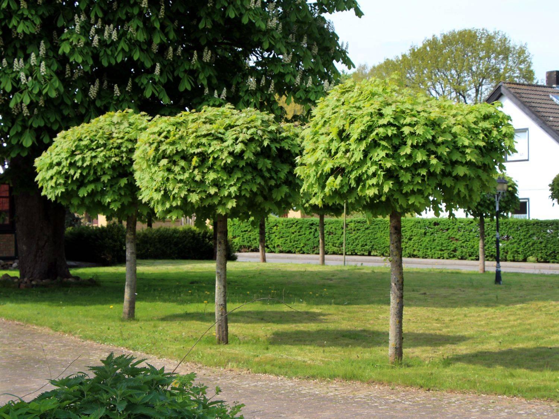 Декоративные деревья для сада: фото с названиями, примеры высоких, средних и низких сортов