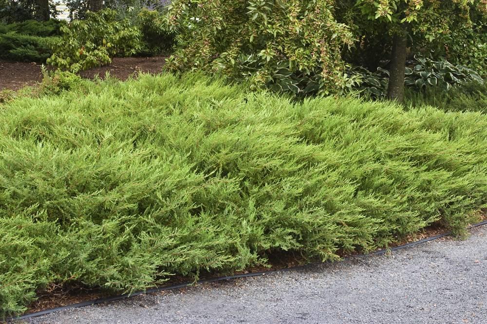 Можжевельник грин карпет (green carpet): описание, фото, использование в ландшафтном дизайне