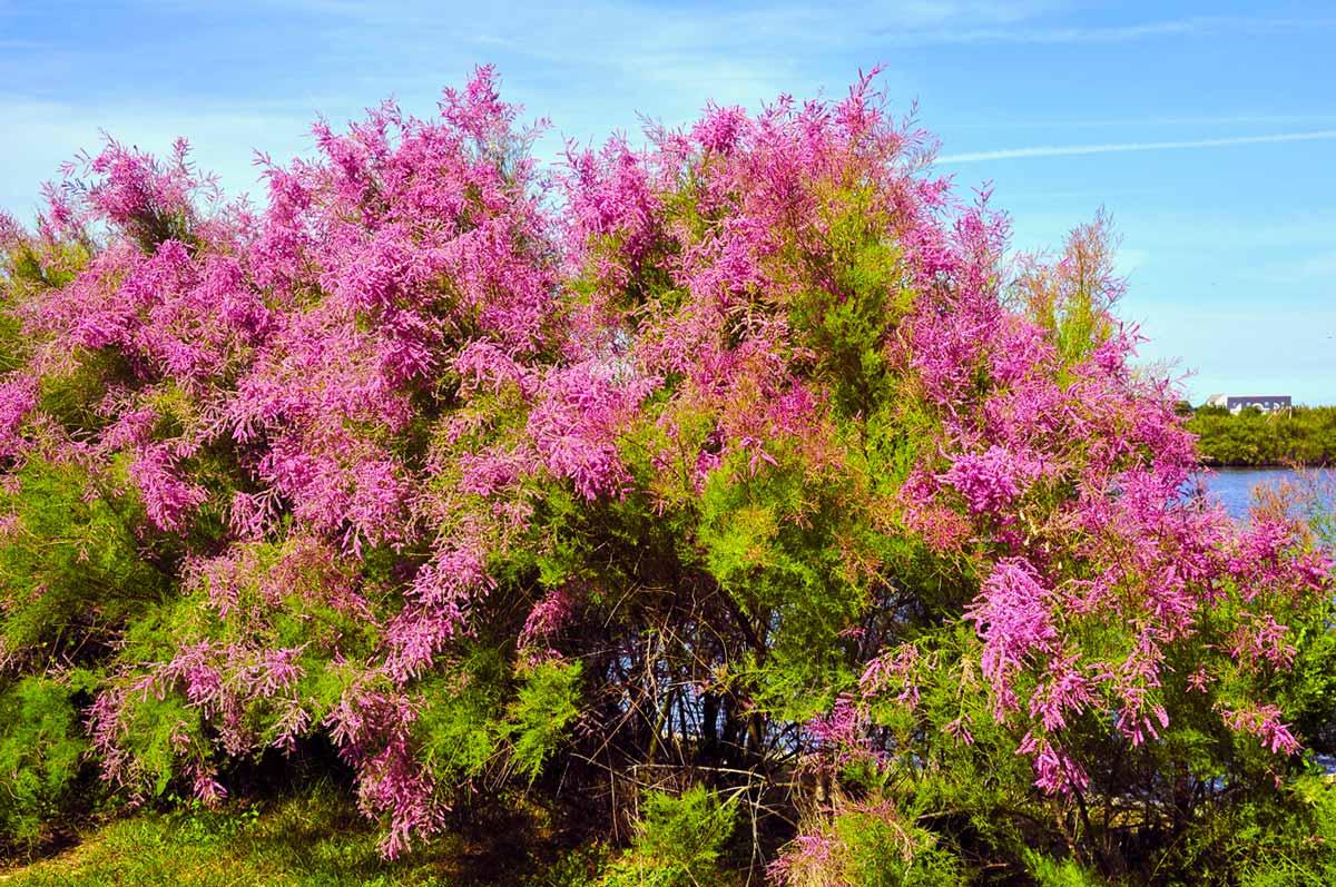 Тамарикс – кружевное чудо в саду. посадка, уход, размножение