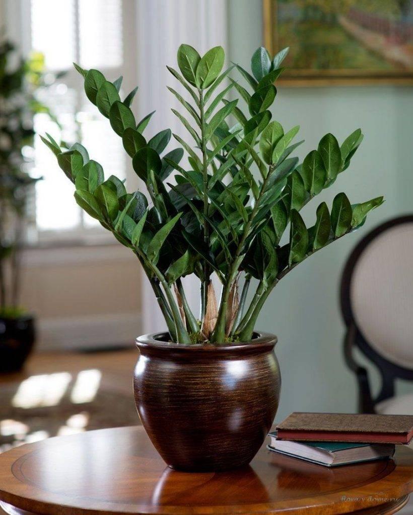 Почему плохо растет замиокулькас в домашних условиях