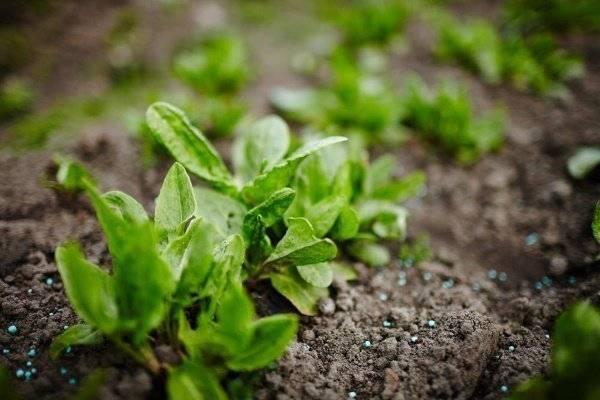 Как пересадить щавель в другое место весной и в иное время года: можно ли перемещать растение, как это делается в открытом грунте и дома, каковы нюансы ухода? русский фермер