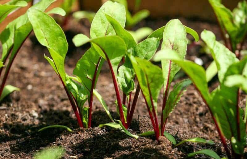 Как садить свеклу семенами: рядом с чем и когда сажать, правильная посадка и уход в открытом грунте
