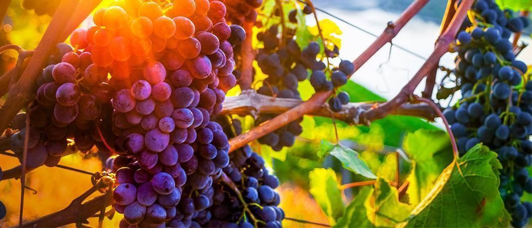 Уход за виноградом осенью и его подготовка к зиме: подкормка, обработка (опрыскивание), полив, обрезка и укрытие