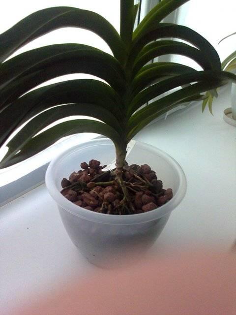 Орхидея в керамзите: посадка, как поливать, реанимация, выращивание