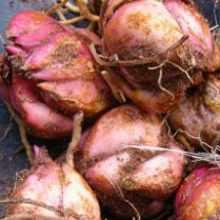 Как сохранить луковицы лилий до весны в домашних условиях