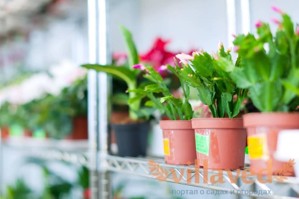 Цветок декабрист - как заставить цвести?