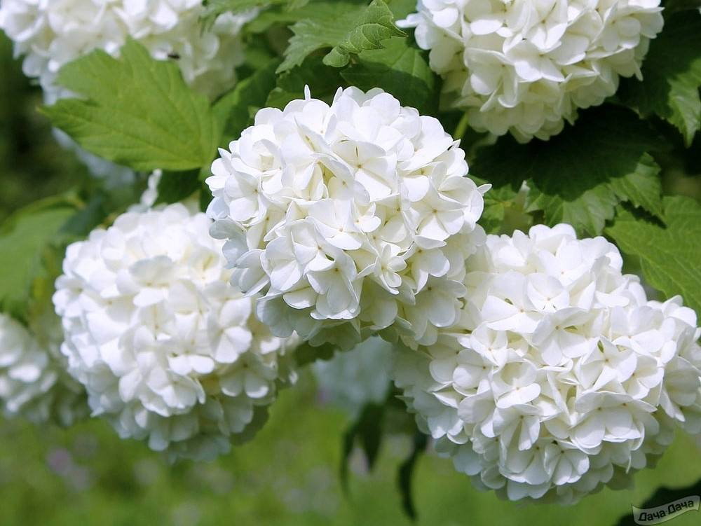 Калина: сорта с описанием и характеристиками, 24 лучших разновидностей, выращивание