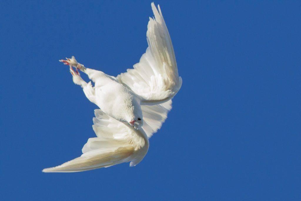 Статные голуби — красивая, гордая осанка и изящная форма тела