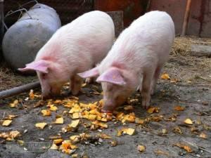 Кормление свиней - пошаговая инструкция, подбор оптимального состава и времени кормления
