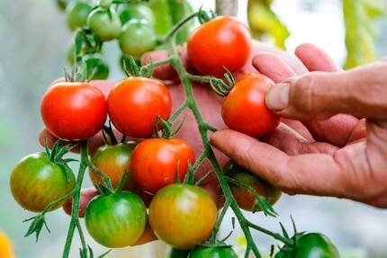 Выращивание рассады томатов в теплице, сроки посева, подкормка