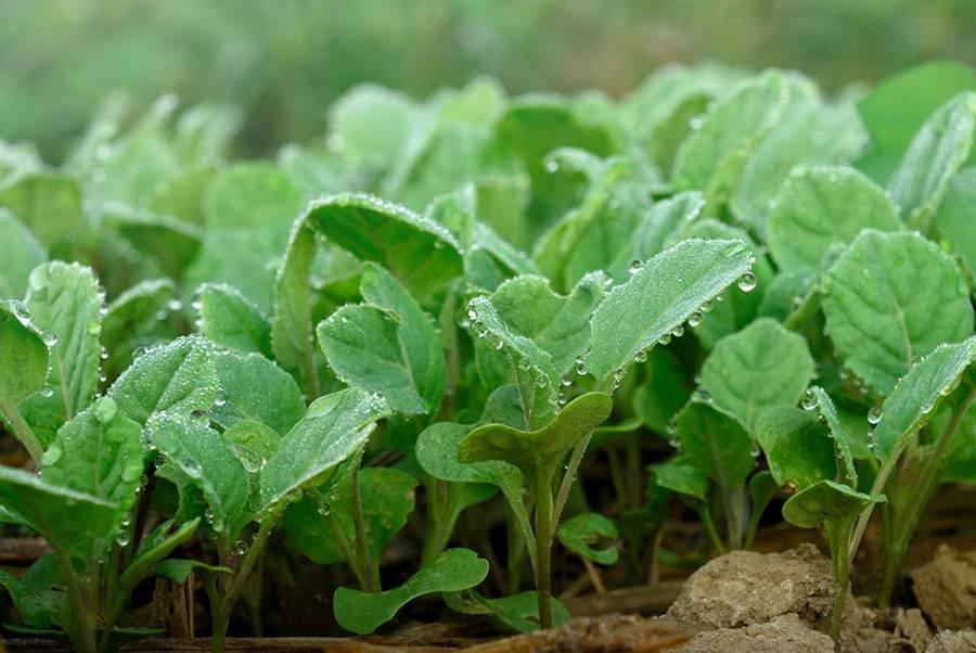 Выращивание капусты в открытом грунте легким способом