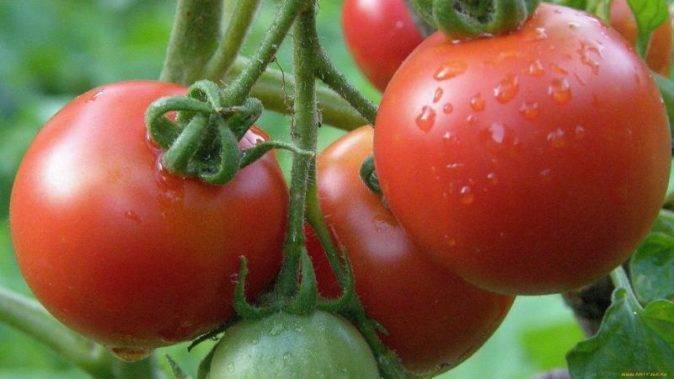 Помидоры ляна: описание сорта, характеристика томата, выращивание, фото и видео