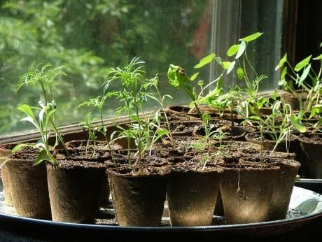 Почему у рассады помидоров фиолетовые листья снизу и стебель – что делать, чем подкормить