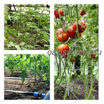 Как часто поливать помидоры в открытом грунте и рассаду после посадки
