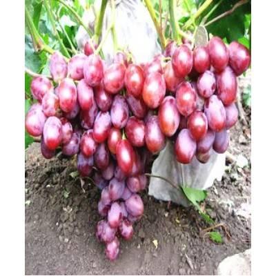 Сорт винограда фавор