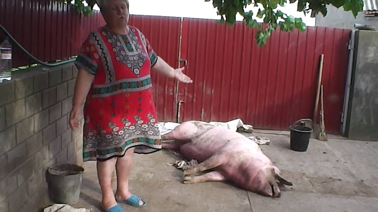 Реальная угроза: что такое африканская чума свиней и чем она опасна?
