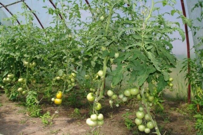 Почему вянет рассада помидоров и как помочь растениям?