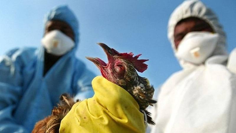 Что делать, если у кур птичий грипп?