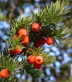 Тис ягодный виды, описание, фото