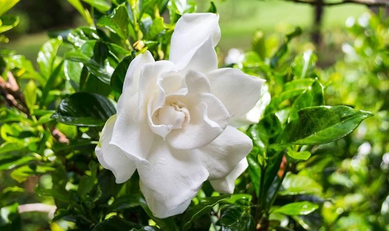 Гардения жасминовидная: выращивание, уход в домашних условиях