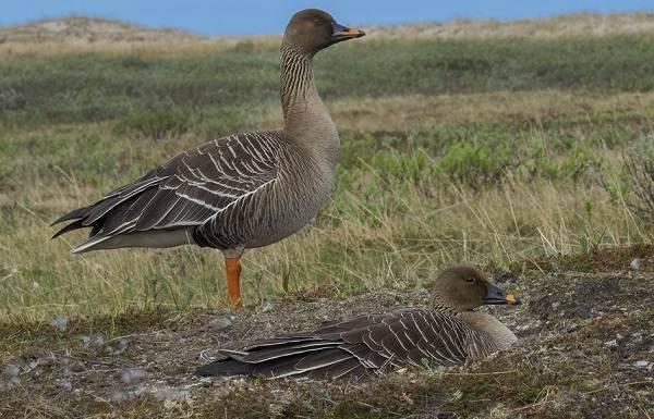 Гуменник гусь птица. образ жизни и среда обитания гуся гуменника | животный мир