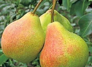 Груша лада: описание сорта, особенности выращивания и ухода за растением, уборка урожая и отзывы садоводов