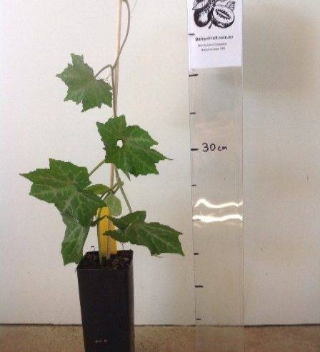 Выращивание настурции на балконе: посадка и уход, фото