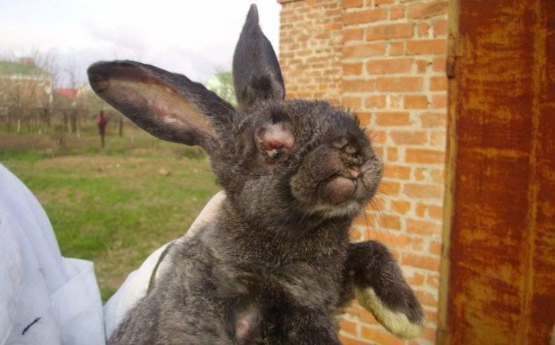 Как и чем лечить миксоматоз у кроликов?