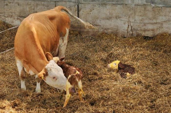 """И профилактика эндометритов у коров, и дополнительное молоко... ооо """"биотехагро"""""""