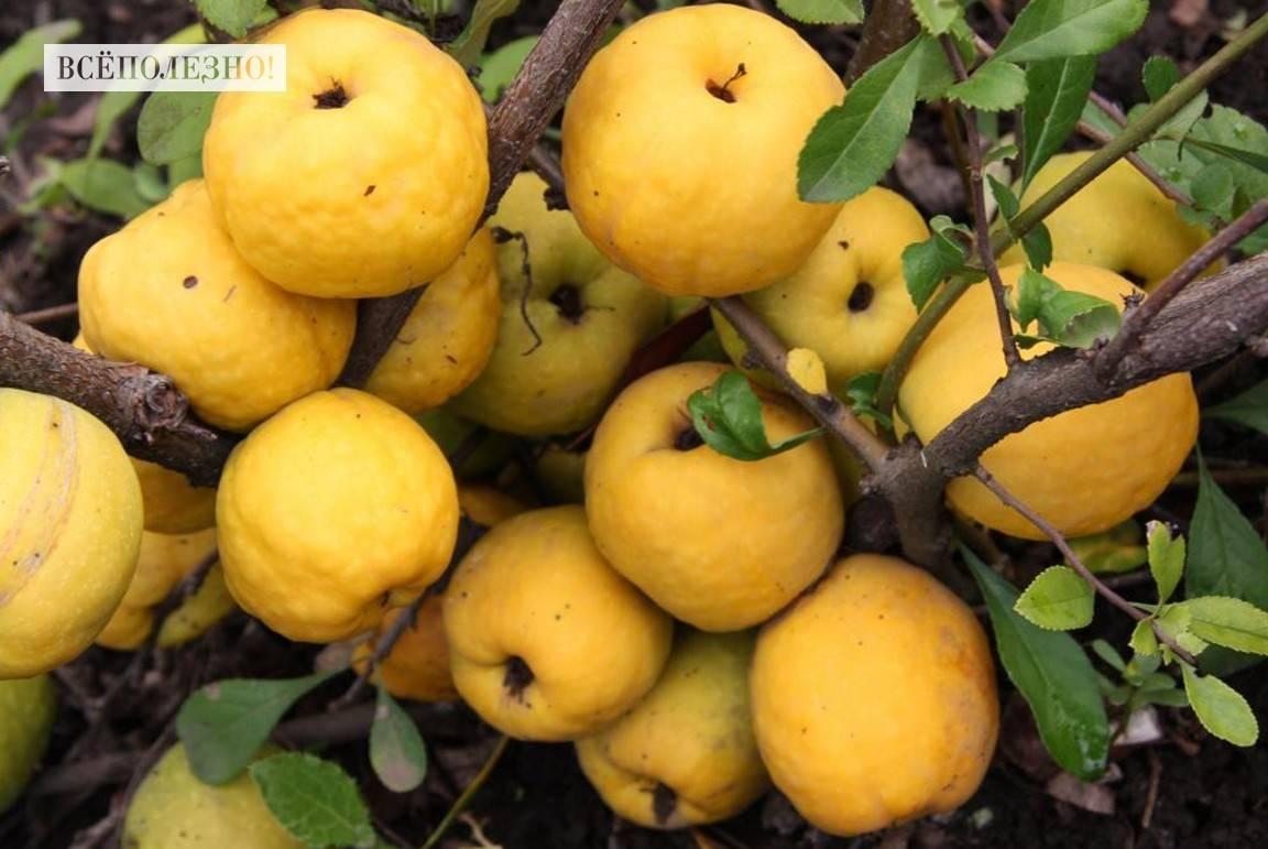 Айва японская: как использовать плоды, их польза и вред для здоровья